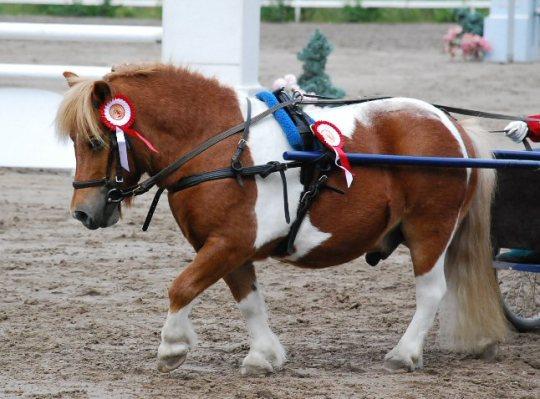 shetland_pony_by_mmaino
